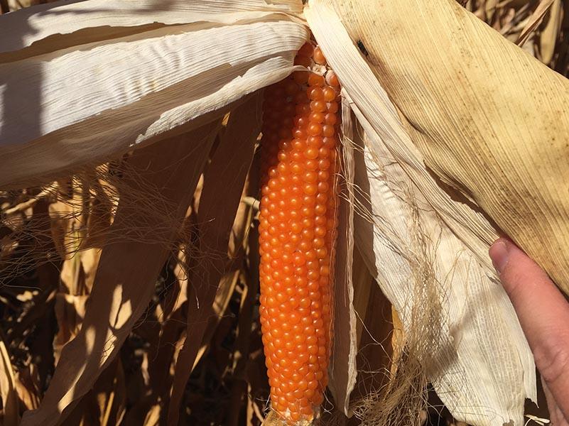 kennedy farm produce Corn 1